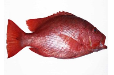 Arti Mimpi Ikan Kakap